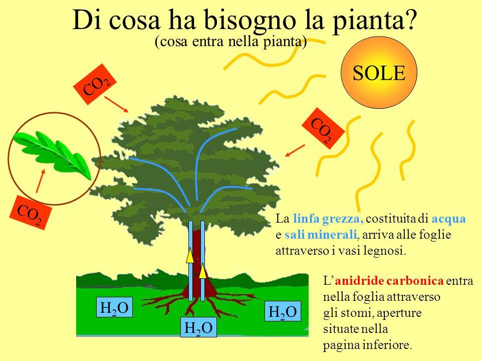 Grazie ai cloroplasti che catturano lenergia del sole, Cosa succede nella foglia.