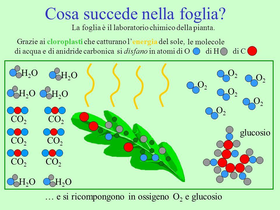Grazie ai cloroplasti che catturano lenergia del sole, Cosa succede nella foglia? La foglia è il laboratorio chimico della pianta. H2OH2O … e si ricom