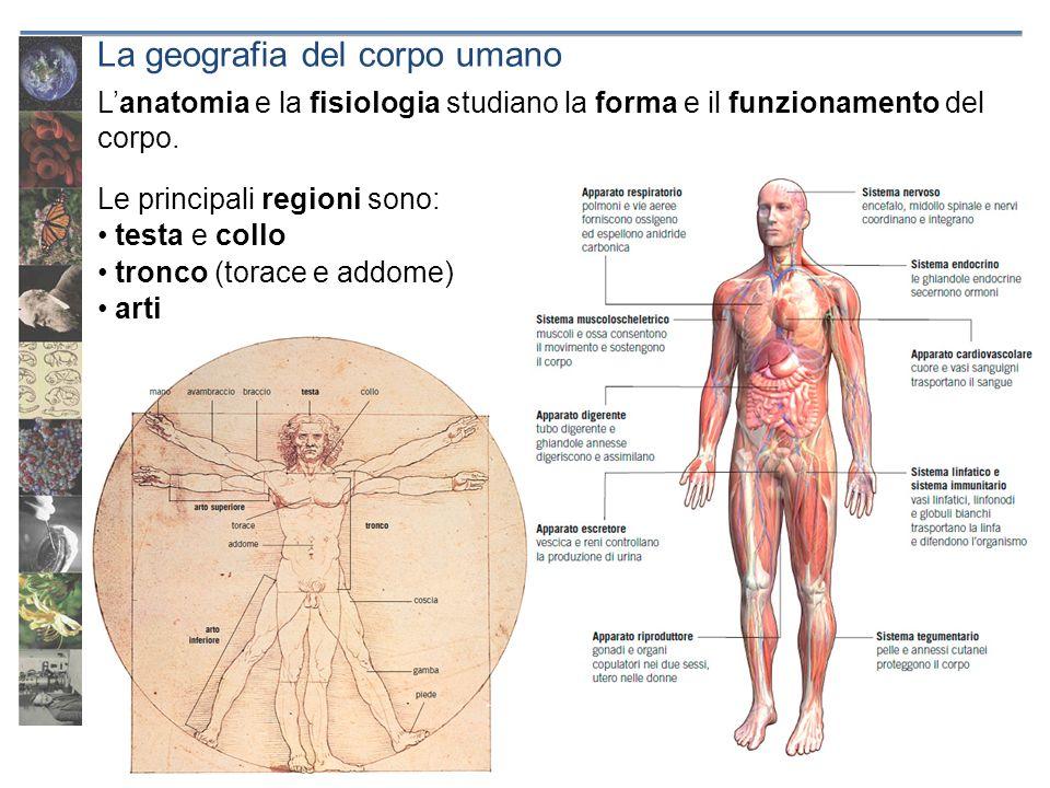 La geografia del corpo umano Le principali regioni sono: testa e collo tronco (torace e addome) arti Lanatomia e la fisiologia studiano la forma e il