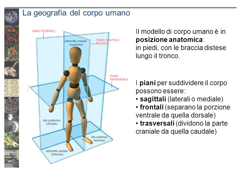 La geografia del corpo umano I piani per suddividere il corpo possono essere: sagittali (laterali o mediale) frontali (separano la porzione ventrale d