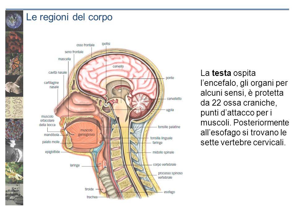 Le regioni del corpo La testa ospita lencefalo, gli organi per alcuni sensi, è protetta da 22 ossa craniche, punti dattacco per i muscoli. Posteriorme