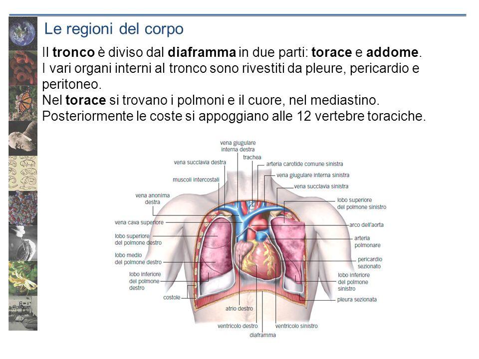 Le regioni del corpo Il tronco è diviso dal diaframma in due parti: torace e addome. I vari organi interni al tronco sono rivestiti da pleure, pericar