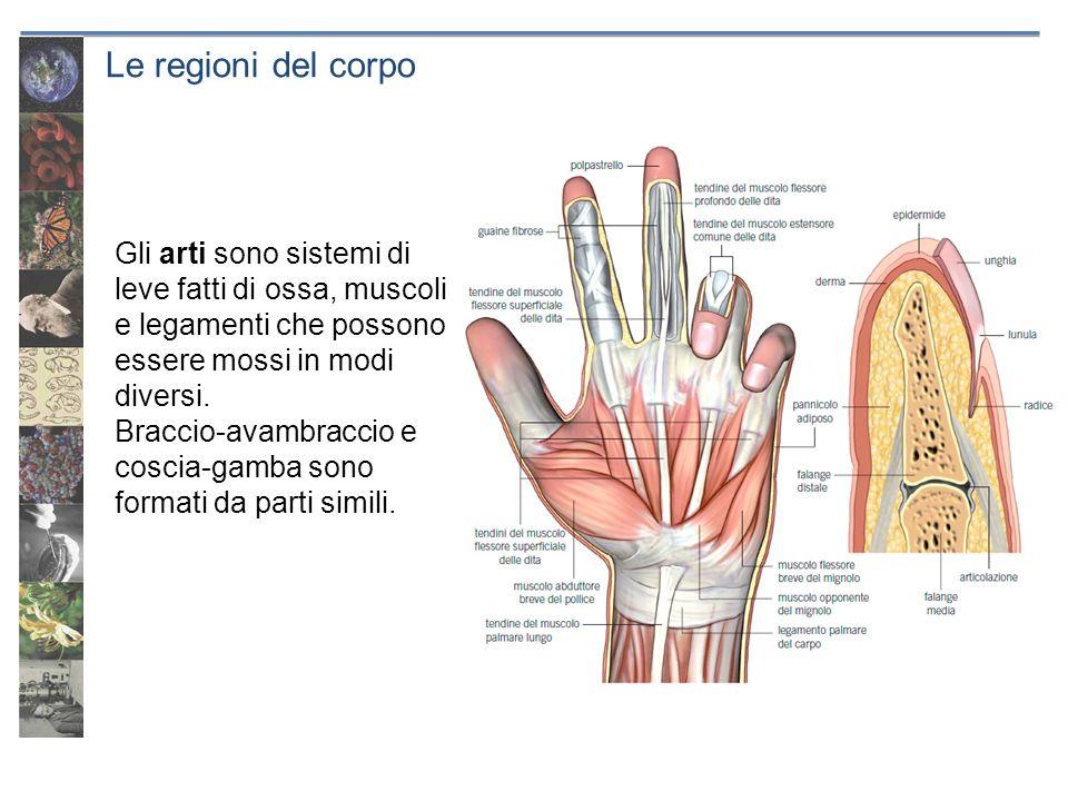 Le regioni del corpo Gli arti sono sistemi di leve fatti di ossa, muscoli e legamenti che possono essere mossi in modi diversi. Braccio-avambraccio e