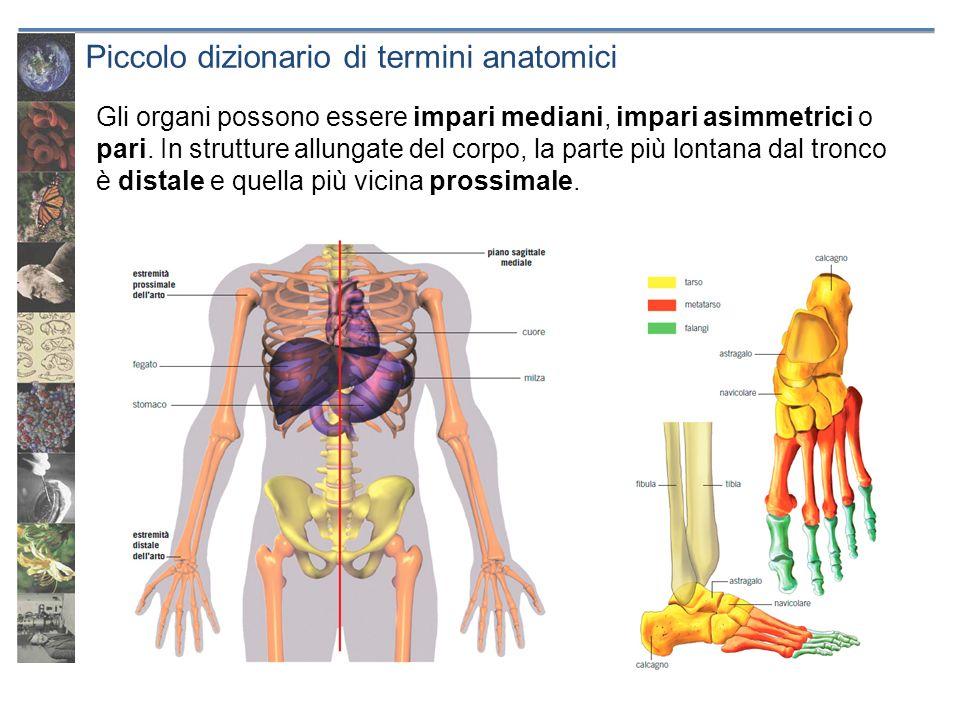 Piccolo dizionario di termini anatomici Gli organi possono essere impari mediani, impari asimmetrici o pari. In strutture allungate del corpo, la part