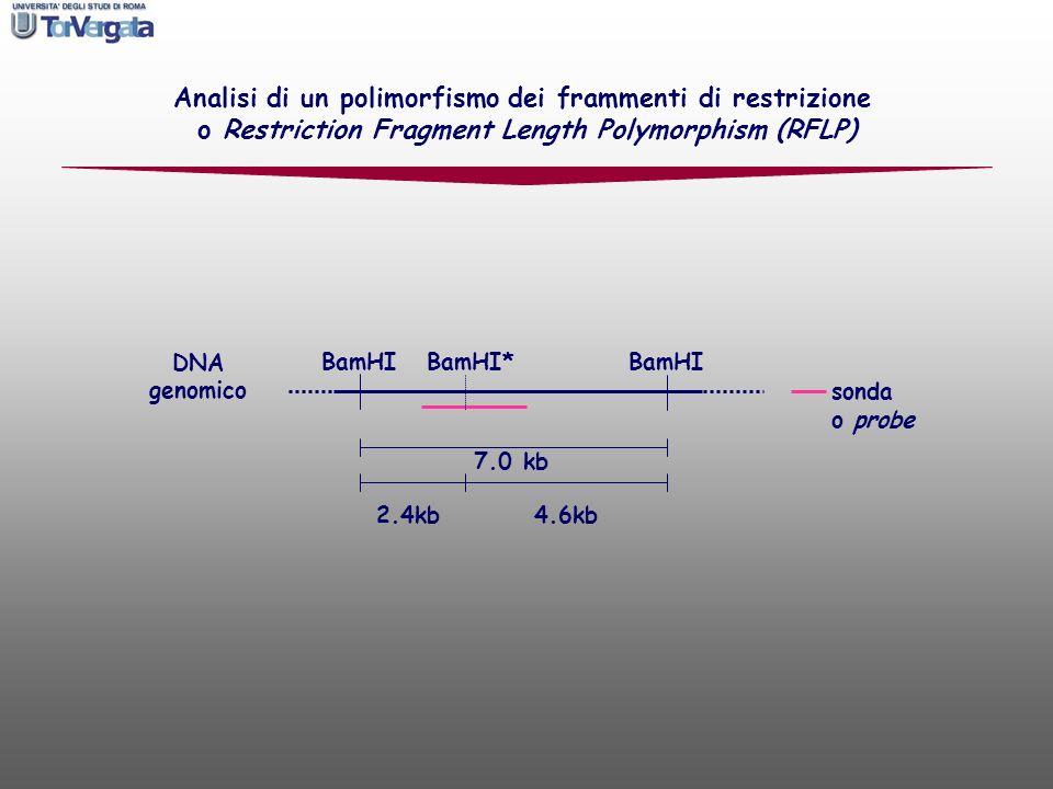 sonda o probe Analisi di un polimorfismo dei frammenti di restrizione o Restriction Fragment Length Polymorphism (RFLP) BamHI* BamHI DNA genomico 7.0