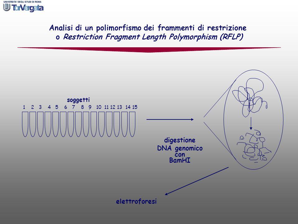 Analisi di un polimorfismo dei frammenti di restrizione o Restriction Fragment Length Polymorphism (RFLP) soggetti 1 2 3 4 5 6 7 8 9 10 11 12 13 14 15