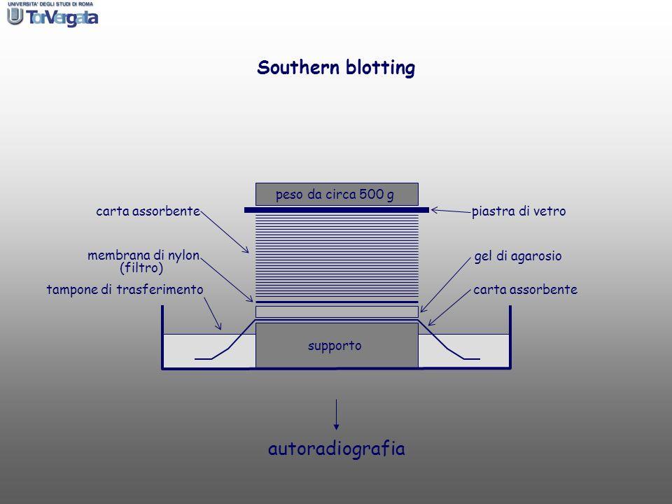 tampone di trasferimento Southern blotting peso da circa 500 g gel di agarosio piastra di vetro membrana di nylon (filtro) carta assorbente supporto a