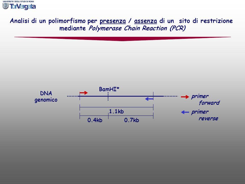 BamHI* DNA genomico primer forward primer reverse Analisi di un polimorfismo per presenza / assenza di un sito di restrizione mediante Polymerase Chai