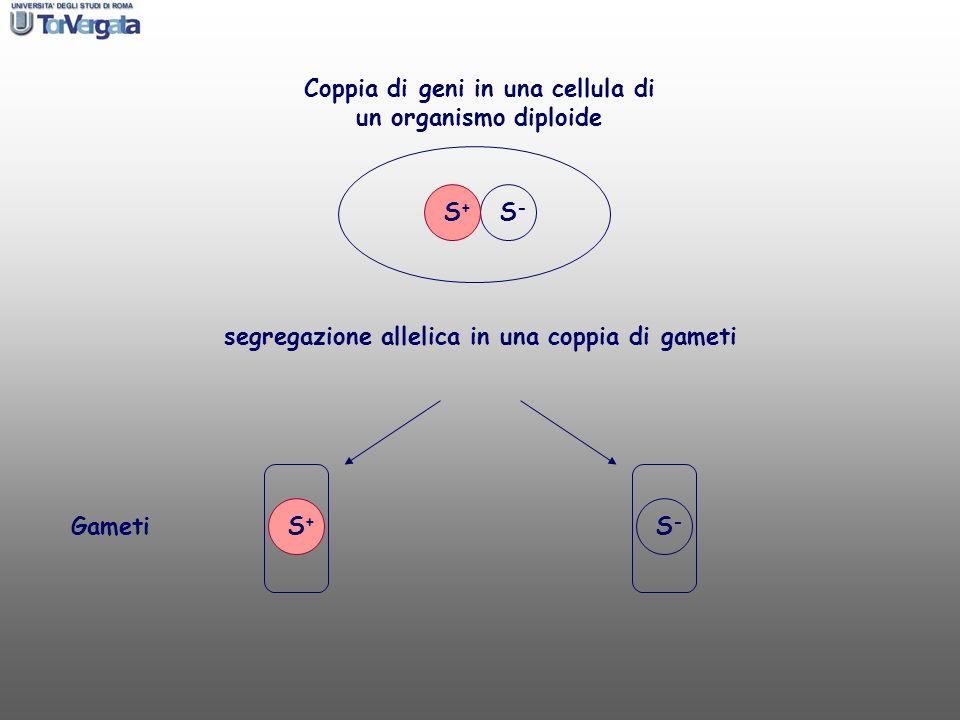 S+S+ S-S- Coppia di geni in una cellula di un organismo diploide S+S+ S-S- Gameti segregazione allelica in una coppia di gameti