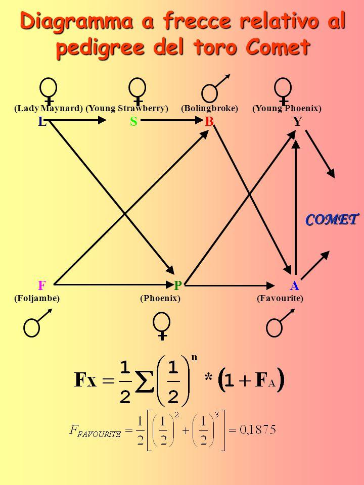 Diagramma a frecce relativo al pedigree del toro Comet (LadyMaynard)(YoungStrawberry)(Bolingbroke)(YoungPhoenix) L SB Y F P A (Foljambe) (Phoenix) (Favourite) COMET