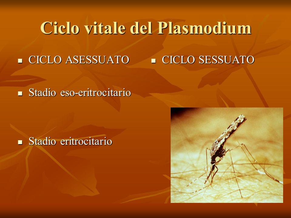 Ciclo vitale del Plasmodium CICLO ASESSUATO CICLO ASESSUATO Stadio eso-eritrocitario Stadio eso-eritrocitario Stadio eritrocitario Stadio eritrocitari