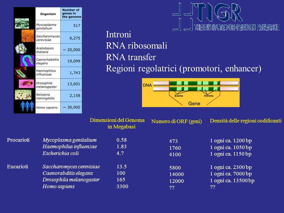 Dimensioni del Genoma in Megabasi ProcariotiMycoplasma genitalium0.58 Haemophilus influenzae1.83 Escherichia coli 4.7 EucariotiSaccharomyces cerevisia