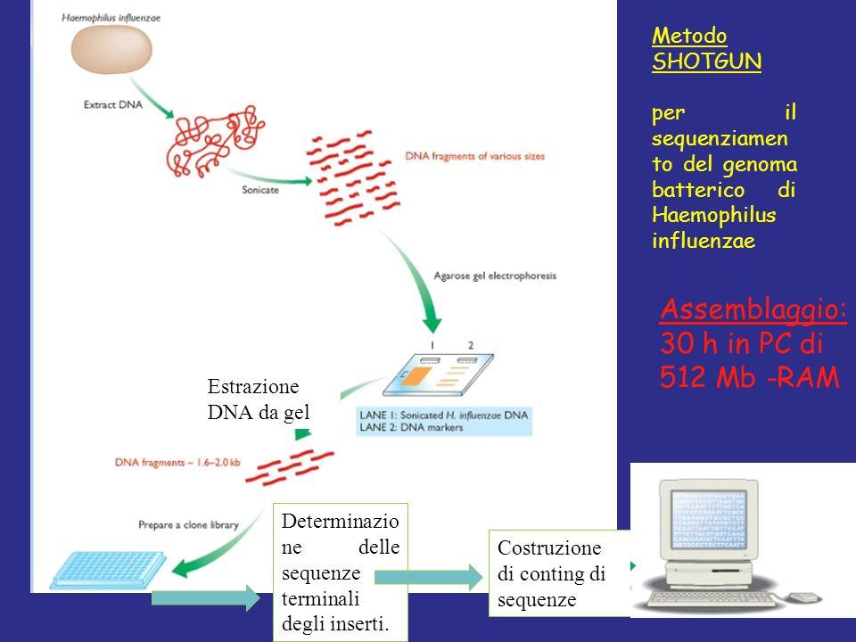 Estrazione DNA da gel Determinazio ne delle sequenze terminali degli inserti. Costruzione di conting di sequenze Metodo SHOTGUN per il sequenziamen to