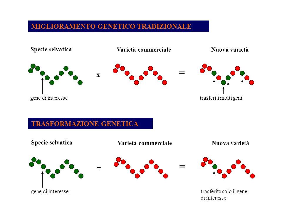 MIGLIORAMENTO GENETICO TRADIZIONALE Specie selvatica Varietà commercialeNuova varietà gene di interessetrasferiti molti geni TRASFORMAZIONE GENETICA x = Specie selvatica Varietà commercialeNuova varietà gene di interessetrasferito solo il gene di interesse + = Risorse Genetiche e Biotecnologie