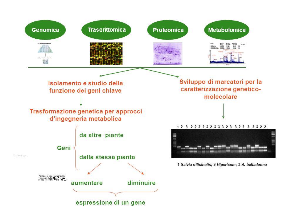 Approcci molecolari Trascrittomica GenomicaProteomica Metabolomica Sviluppo di marcatori per la caratterizzazione genetico- molecolare 1 2 3 2 2 3 2 3 2 3 3 3 2 3 3 2 2 3 2 3 2 2 1 Salvia officinalis; 2 Hipericum; 3 A.