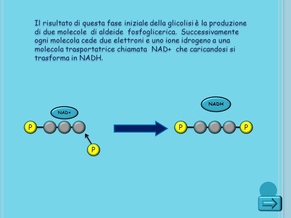 Il risultato di questa fase iniziale della glicolisi è la produzione di due molecole di aldeide fosfoglicerica. Successivamente ogni molecola cede due
