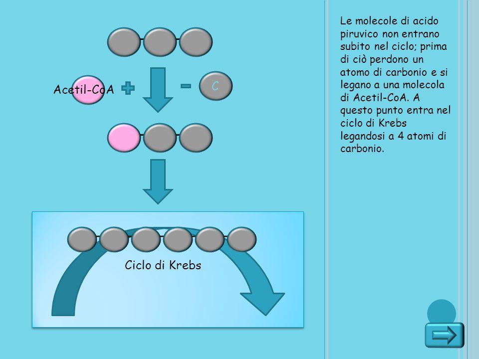 Le molecole di acido piruvico non entrano subito nel ciclo; prima di ciò perdono un atomo di carbonio e si legano a una molecola di Acetil-CoA. A ques