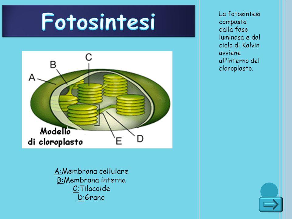 La fotosintesi composta dalla fase luminosa e dal ciclo di Kalvin avviene allinterno del cloroplasto.