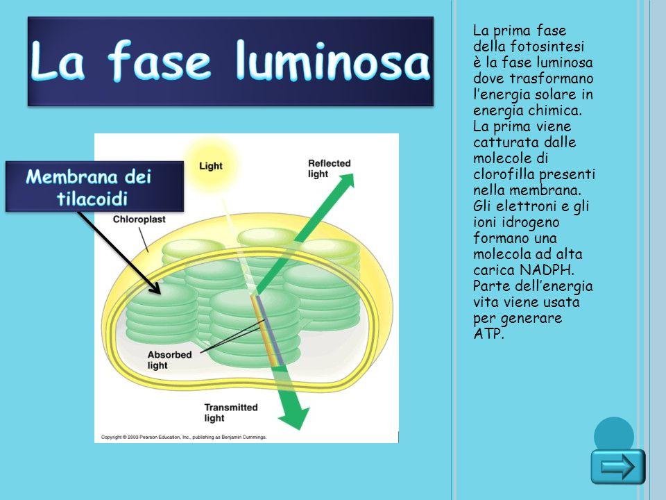 La prima fase della fotosintesi è la fase luminosa dove trasformano lenergia solare in energia chimica. La prima viene catturata dalle molecole di clo