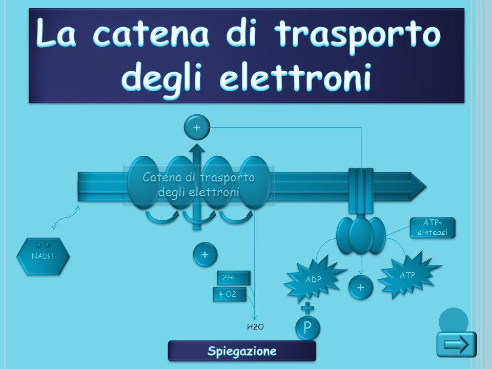 Catena di trasporto degli elettroni P P + NADH + + ADP ATP + + ATP- sinteasi 2H+ ½ O2 H2O