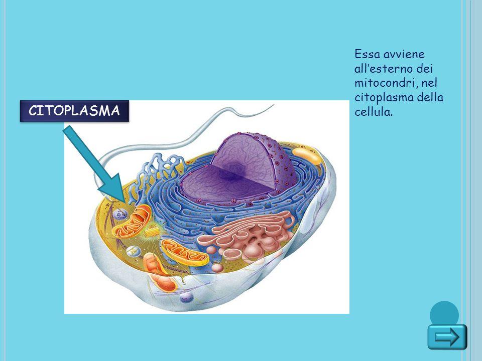 Essa avviene allesterno dei mitocondri, nel citoplasma della cellula. CITOPLASMA