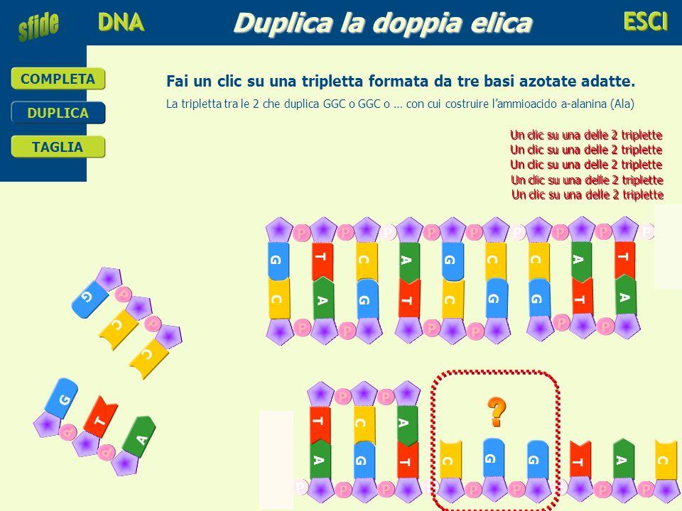 educare alla scienza e alla tecnologia COMPLETA DUPLICA TAGLIA Duplica la doppia elica T G C A G C C P P P P P P P A T PP G CiCi A G T C G T A G P P P