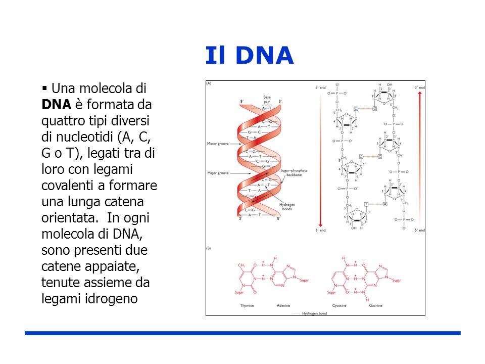 Il DNA Una molecola di DNA è formata da quattro tipi diversi di nucleotidi (A, C, G o T), legati tra di loro con legami covalenti a formare una lunga