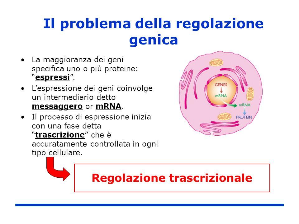 Il problema della regolazione genica La maggioranza dei geni specifica uno o più proteine:espressi. Lespressione dei geni coinvolge un intermediario d