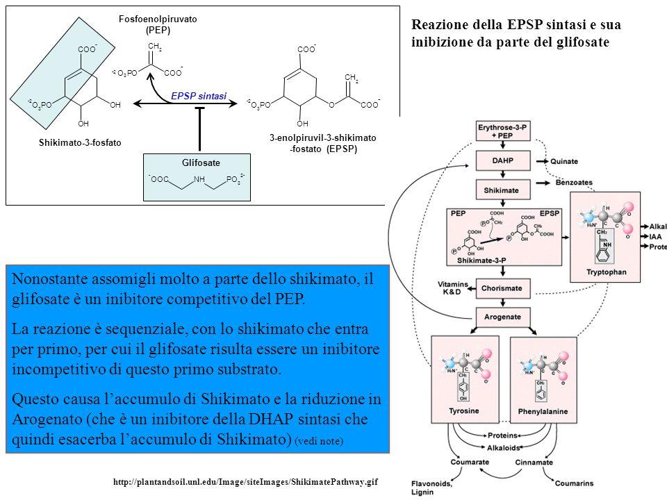 Reazione della EPSP sintasi e sua inibizione da parte del glifosate OH OH COO - -2 O 3 PO CH 2 OH O COO - - -2 O 3 PO - OOCNHPO 3 2- Shikimato-3-fosfato Fosfoenolpiruvato (PEP) Glifosate 3-enolpiruvil-3-shikimato -fostato (EPSP) EPSP sintasi CH 2 O -2 O 3 PCOO - Nonostante assomigli molto a parte dello shikimato, il glifosate è un inibitore competitivo del PEP.