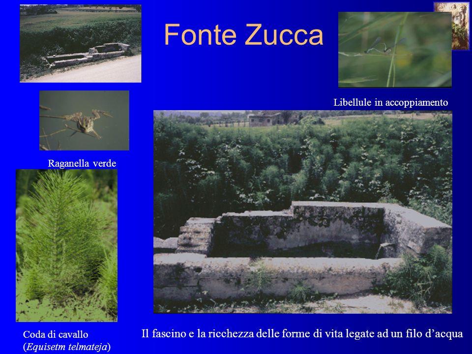 Fonte Zucca Montanello Il fascino e la ricchezza delle forme di vita legate ad un filo dacqua Libellule in accoppiamento Raganella verde Coda di cavallo (Equisetm telmateja)