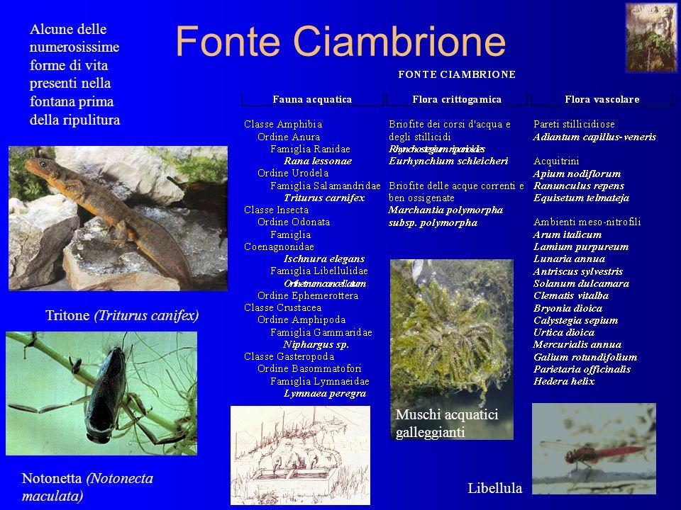 Fonte Ciambrione Alcune delle numerosissime forme di vita presenti nella fontana prima della ripulitura Notonetta (Notonecta maculata) Tritone (Triturus canifex) Libellula Muschi acquatici galleggianti