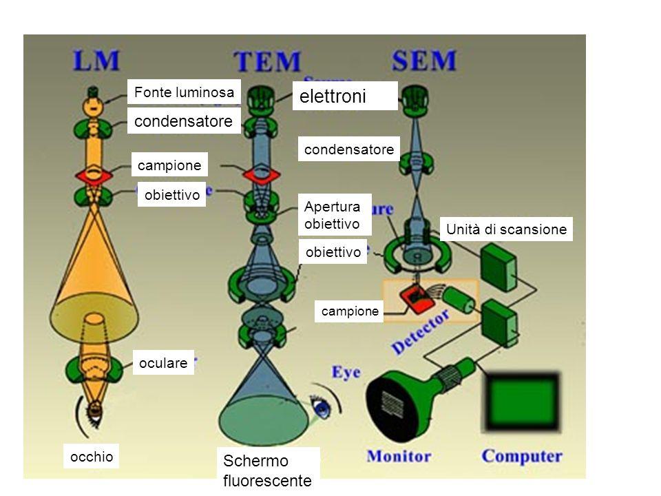 Fonte luminosa condensatore campione obiettivo oculare occhio elettroni condensatore Apertura obiettivo Schermo fluorescente campione Unità di scansio