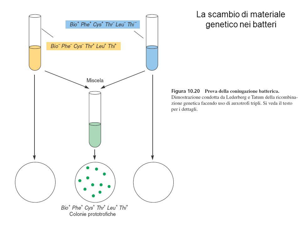 Meccanismi di scambio genico nei batteri Coniugazione: una cellula donatrice (maschile) trasferisce materiale genetico ad una cellula ricevente (femminile); é necessario un contatto diretto tra le cellule; può avvenire anche tra batteri non appartenenti alla stessa specie.