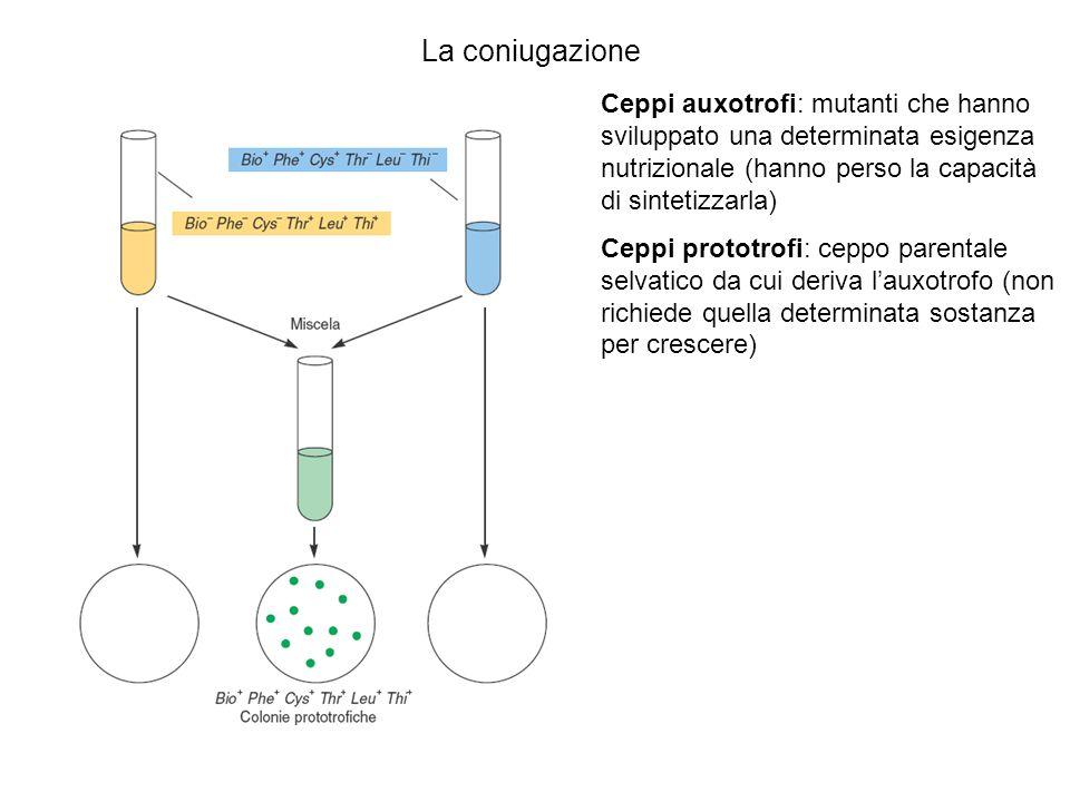 La coniugazione Ceppi auxotrofi: mutanti che hanno sviluppato una determinata esigenza nutrizionale (hanno perso la capacità di sintetizzarla) Ceppi p