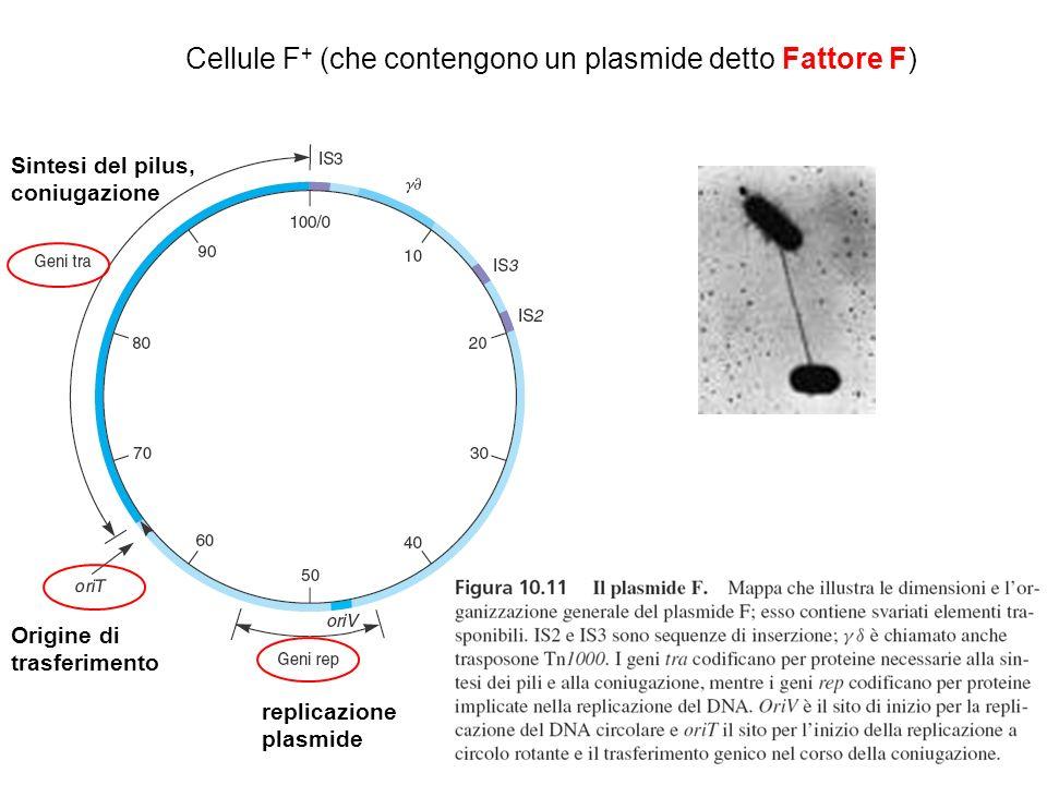Cellule F + (che contengono un plasmide detto Fattore F) replicazione plasmide Origine di trasferimento Sintesi del pilus, coniugazione