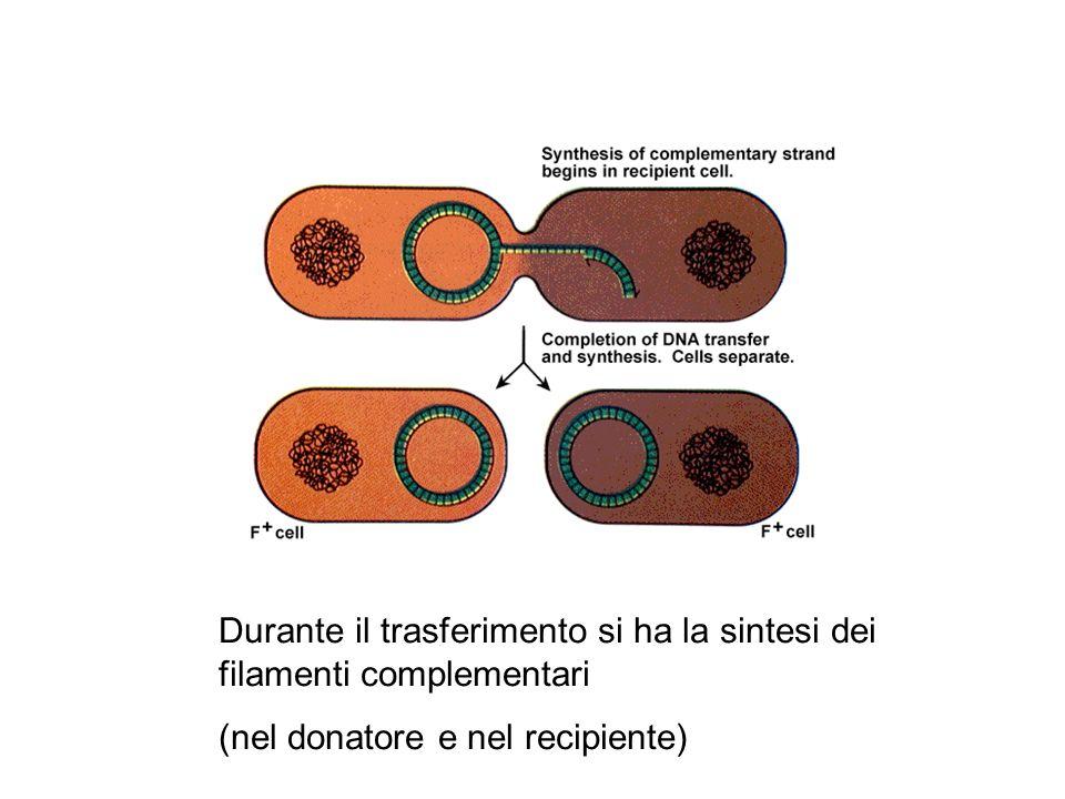 Durante il trasferimento si ha la sintesi dei filamenti complementari (nel donatore e nel recipiente)