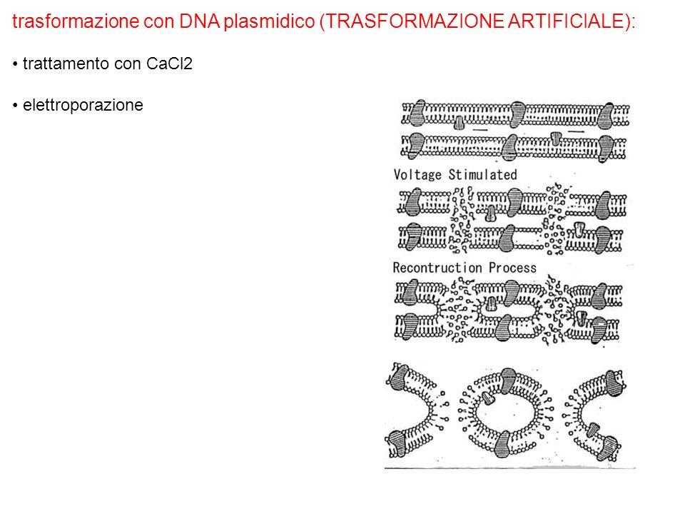 trasformazione con DNA plasmidico (TRASFORMAZIONE ARTIFICIALE): trattamento con CaCl2 elettroporazione