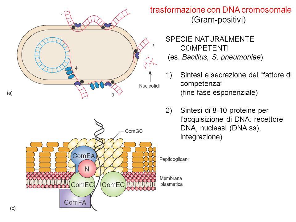 trasformazione con DNA cromosomale (Gram-positivi) SPECIE NATURALMENTE COMPETENTI (es. Bacillus, S. pneumoniae) 1)Sintesi e secrezione del fattore di