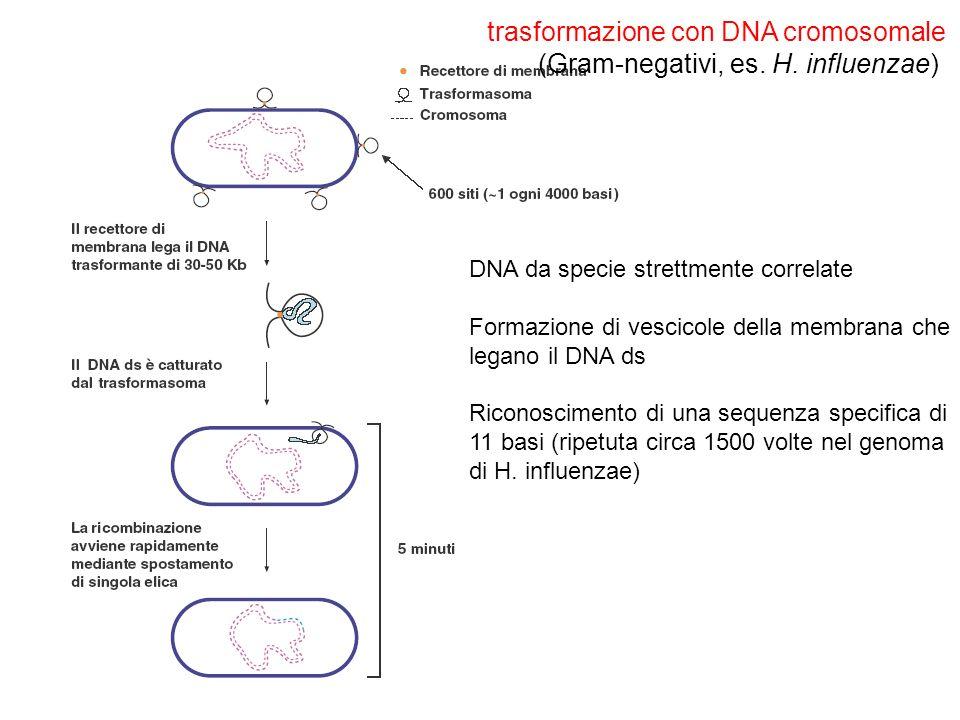 trasformazione con DNA cromosomale (Gram-negativi, es. H. influenzae) DNA da specie strettmente correlate Formazione di vescicole della membrana che l