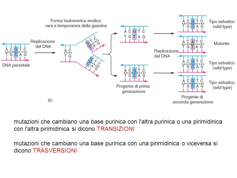 mutazioni che cambiano una base purinica con l'altra purinica o una pirimidinica con l'altra pirimidinica si dicono TRANSIZIONI mutazioni che cambiano