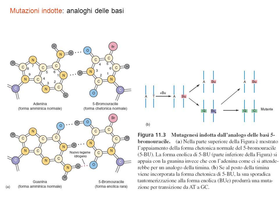 Mutazioni indotte: analoghi delle basi