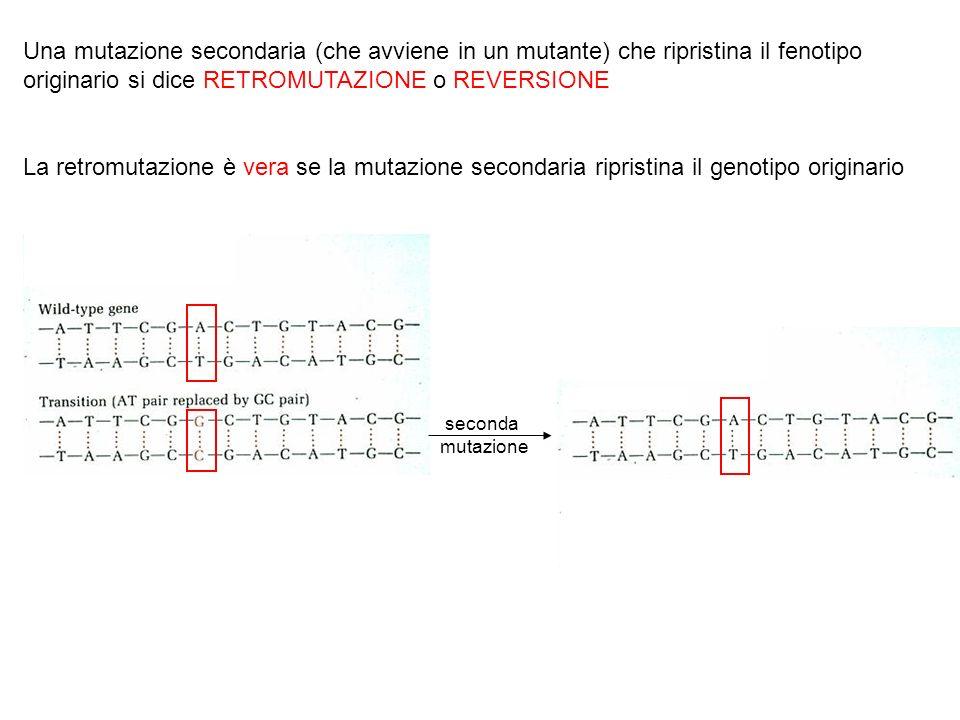 Una mutazione secondaria (che avviene in un mutante) che ripristina il fenotipo originario si dice RETROMUTAZIONE o REVERSIONE La retromutazione è ver