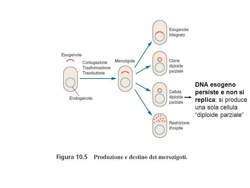 DNA esogeno persiste e non si replica: si produce una sola cellula diploide parziale