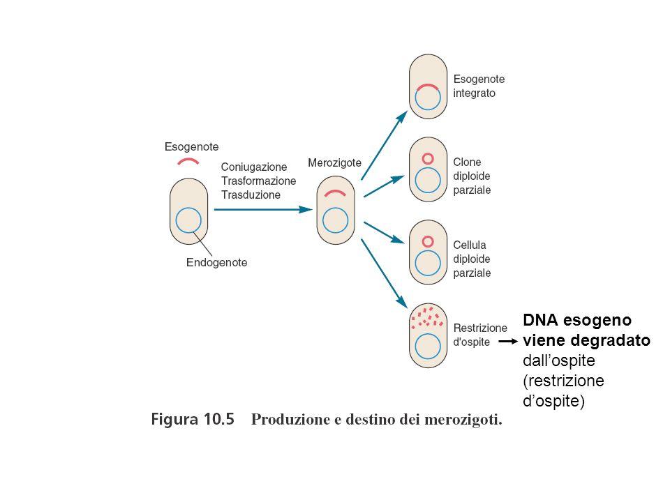 CARATTERISTICHE GENERALI DEI VIRUS ORGANIZZAZIONE NON CELLULARE MOLTIPLICAZIONE PRESENZA DI UN UNICO TIPO DI ACIDO NUCLEICO ASSENZA DI METABOLISMO PROPRIO MOLTIPLICAZIONE VIRALE Il genoma virale contiene le informazioni per la sintesi dei componenti virali e lassemblaggio di nuovi virus Utilizza gli enzimi cellulari per la duplicazione, trascrizione e traduzione del suo genoma
