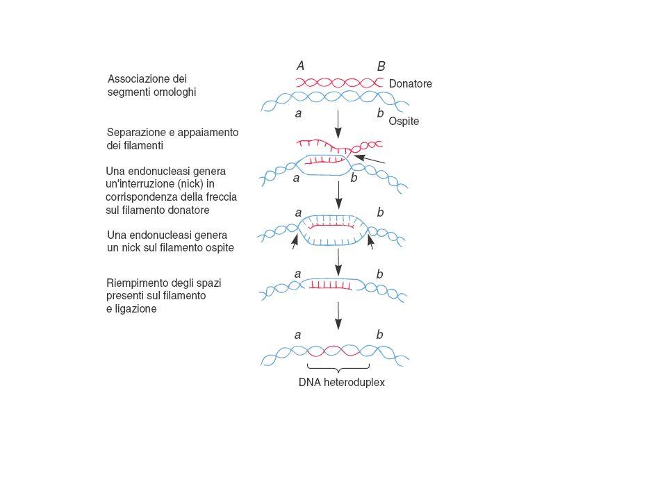 Streptococcus pneumoniae lisci (capsulati) = virulenti Streptococcus pneumoniae lisci (capsulati) = virulenti UCCISI AL CALORE + Streptococcus pneumoniae rugosi (non capsulati) = non virulenti Streptococcus pneumoniae rugosi (non capsulati) = non virulenti Esperimento di Griffith (1° dimostrazione della trasformazione) Esperimento di Avery (1944) spiegazione molecolare