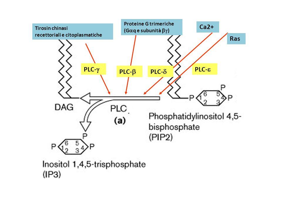 Tirosin chinasi recettoriali e citoplasmatiche Proteine G trimeriche (G q e subunità ) PLC- Ca2+ PLC- Ras