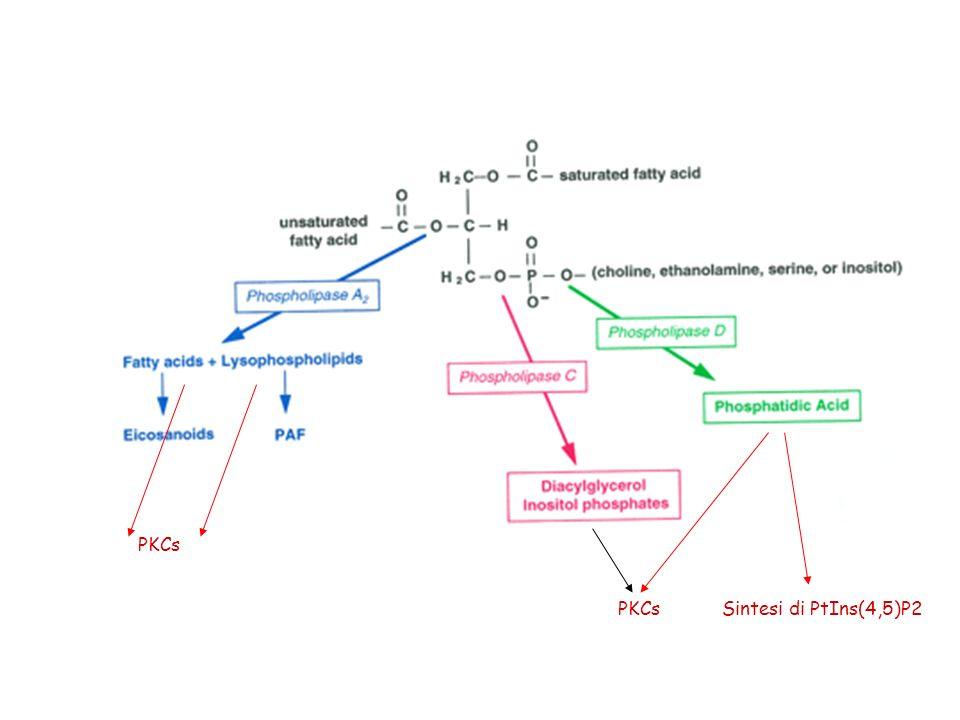 PKCs Sintesi di PtIns(4,5)P2