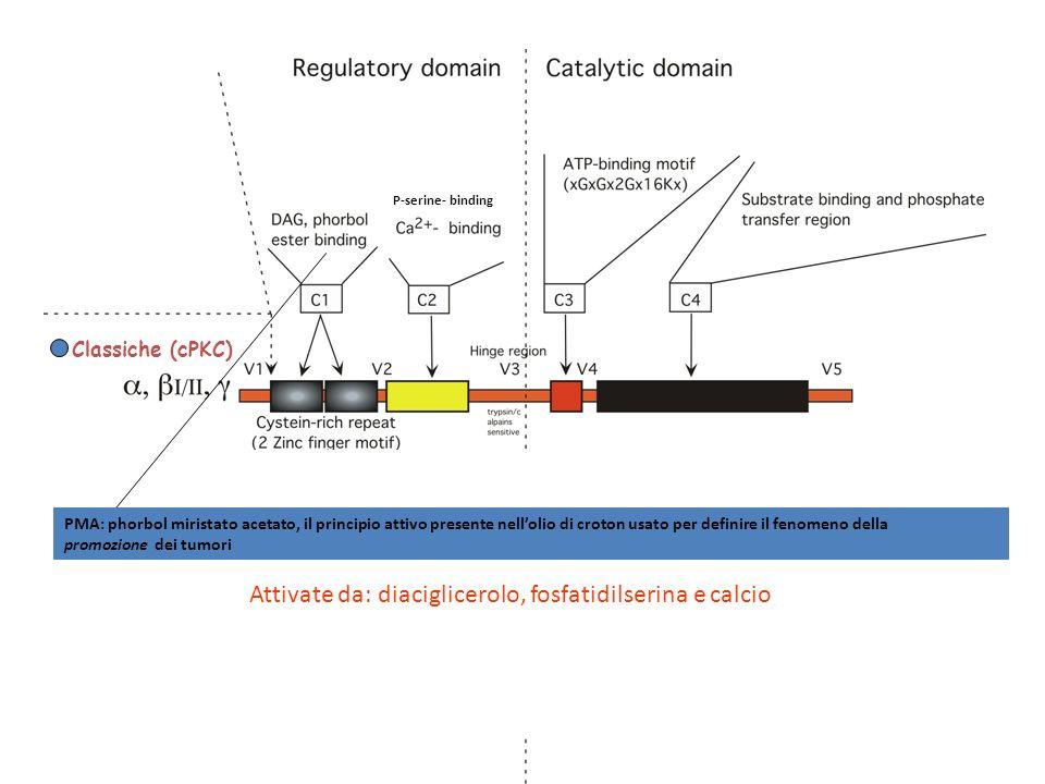 Classiche (cPKC) Nuove (nPKC) Atipiche (aPKC) Attivate da: diaciglicerolo, fosfatidilserina e calcio P-serine- binding PMA: phorbol miristato acetato,
