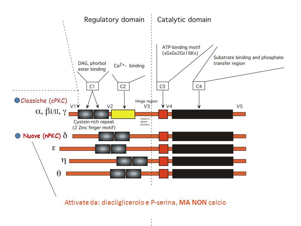 Classiche (cPKC) Nuove (nPKC) Atipiche (aPKC) Attivate da: diacilglicerolo e P-serina, MA NON calcio