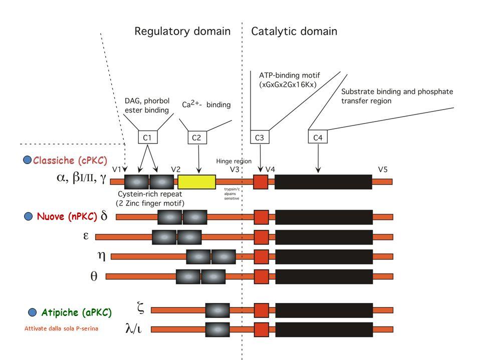 Classiche (cPKC) Nuove (nPKC) Atipiche (aPKC) Attivate dalla sola P-serina